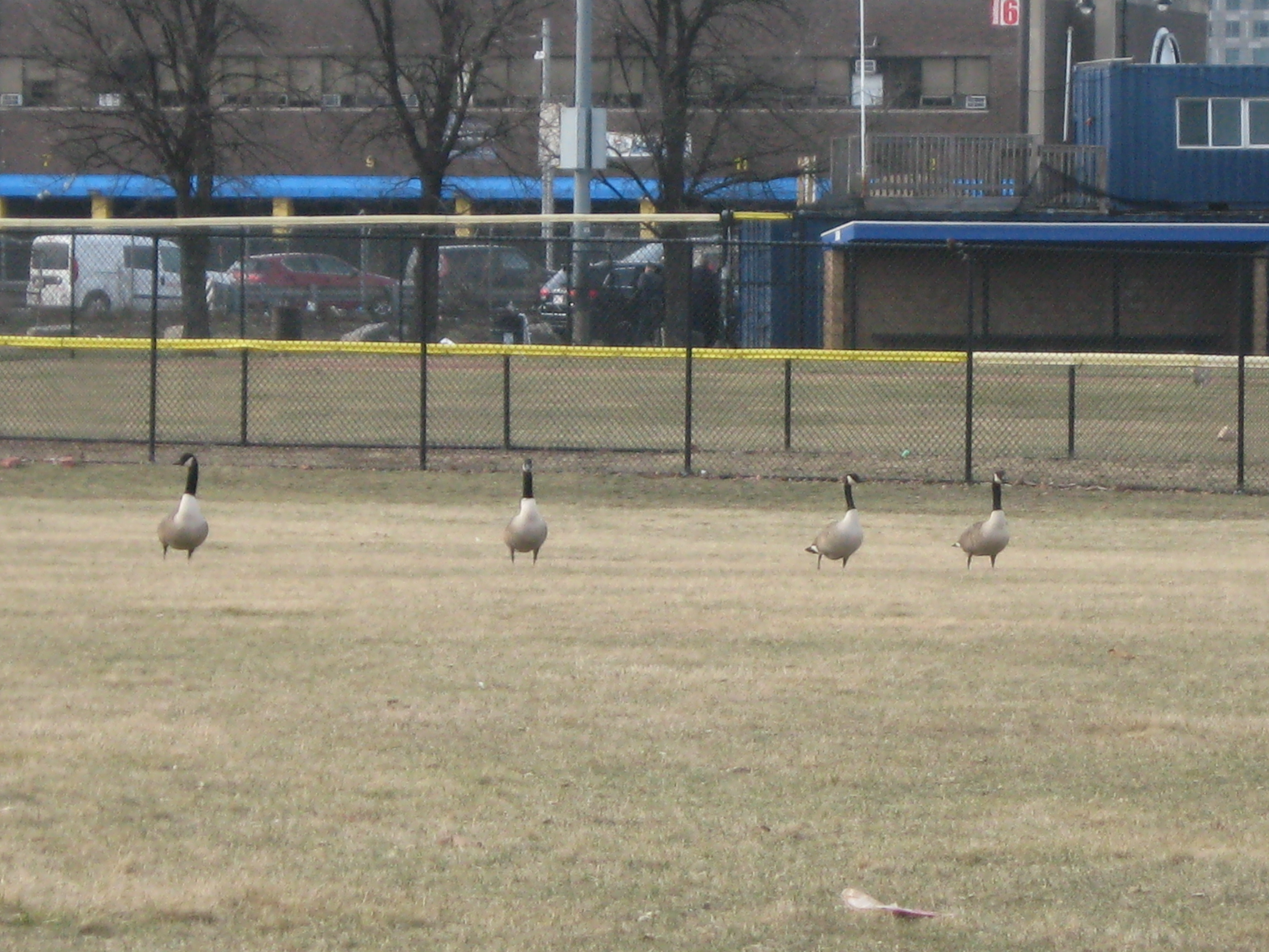 Canada geese just landed on the ball field at Ryan Playground, Charlestown on the Mystic.