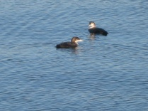 Red-throated loons hanging together.