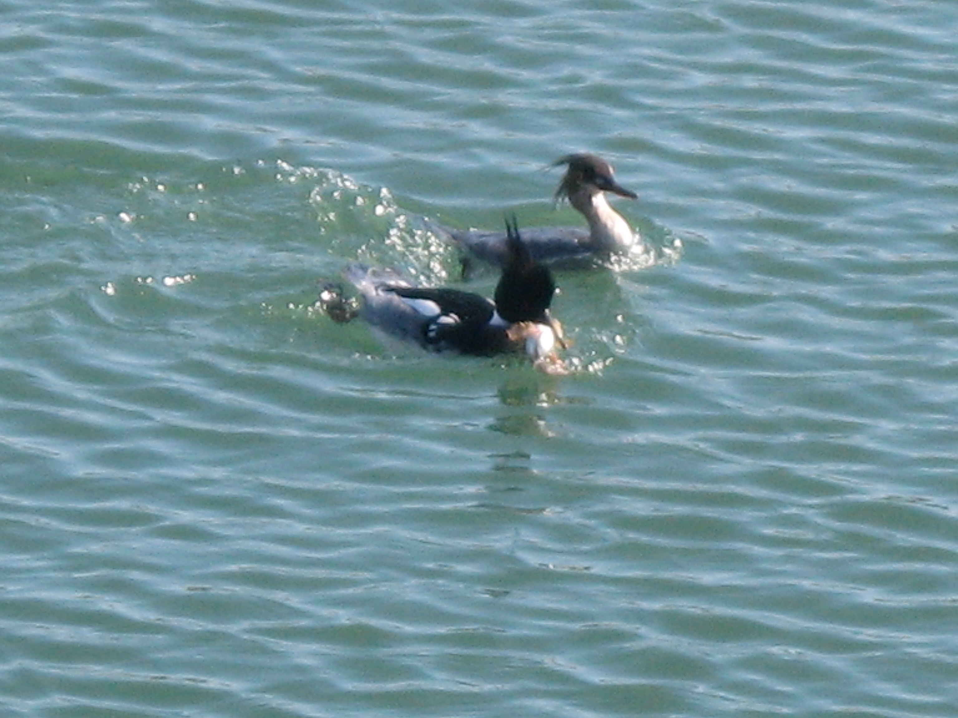 Red-breasted merganser pair with a fish