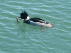 Male red-breasted merganser with fish