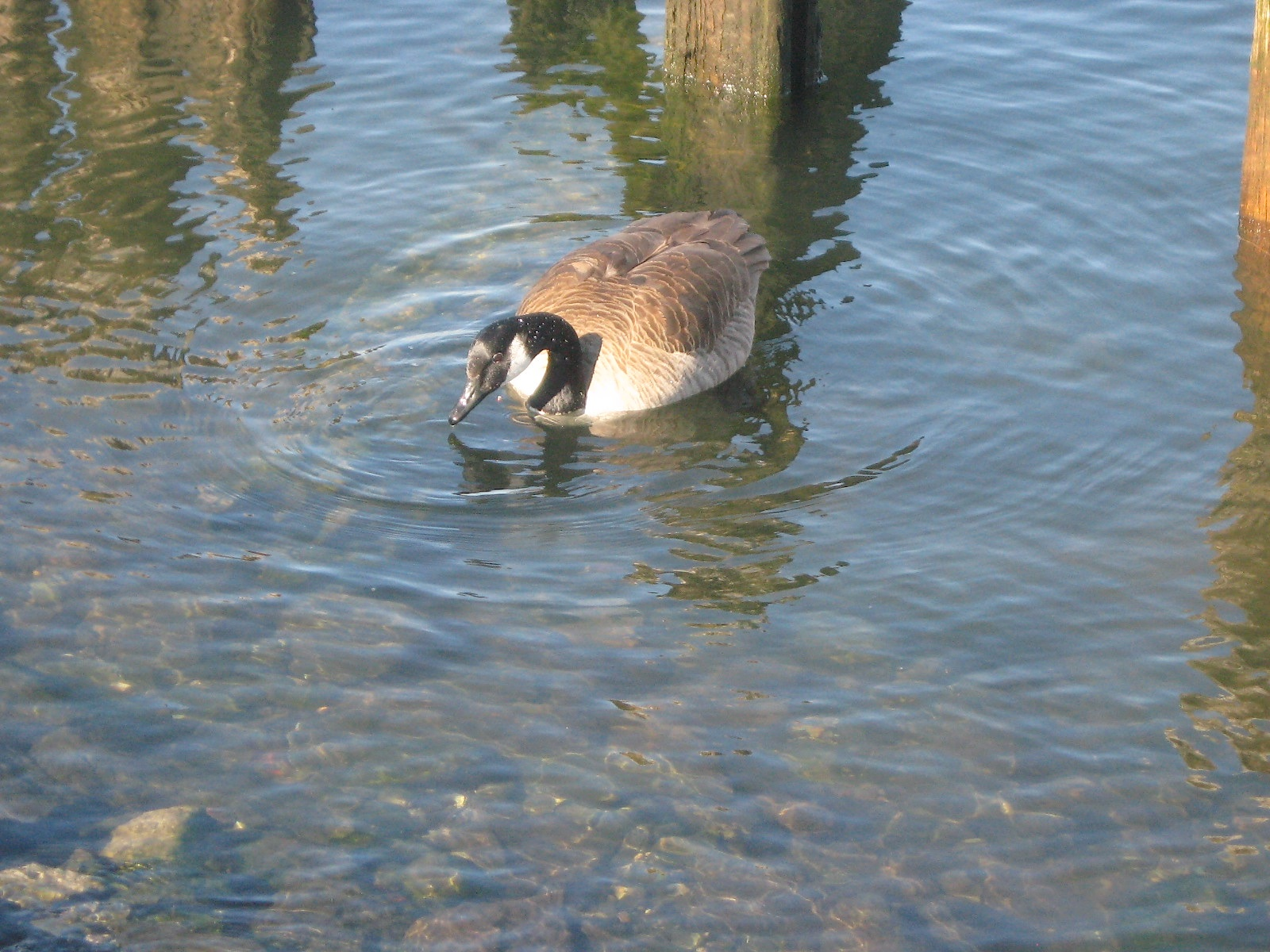JFries - Canada goose, Charlestown, 2.11.19
