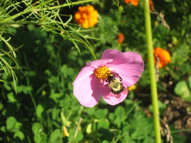 bee on cosmos sept. 19