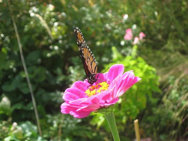 monarch on zinnia sept. 19