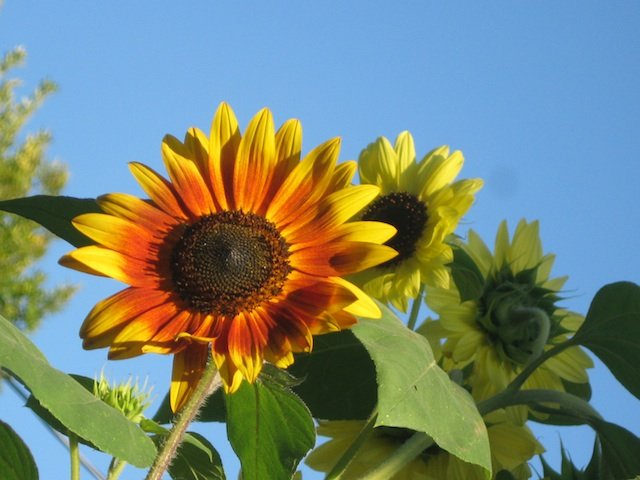 sunflowers sept. 19