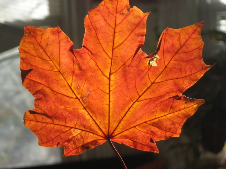 JFries maple leaf 11.2.19
