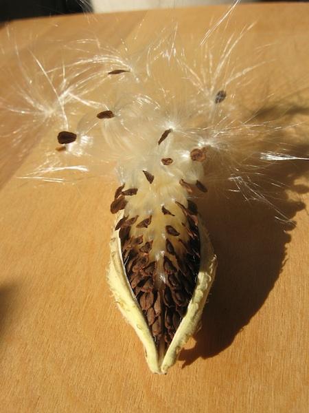 JFries milkweed pod 11.2.19