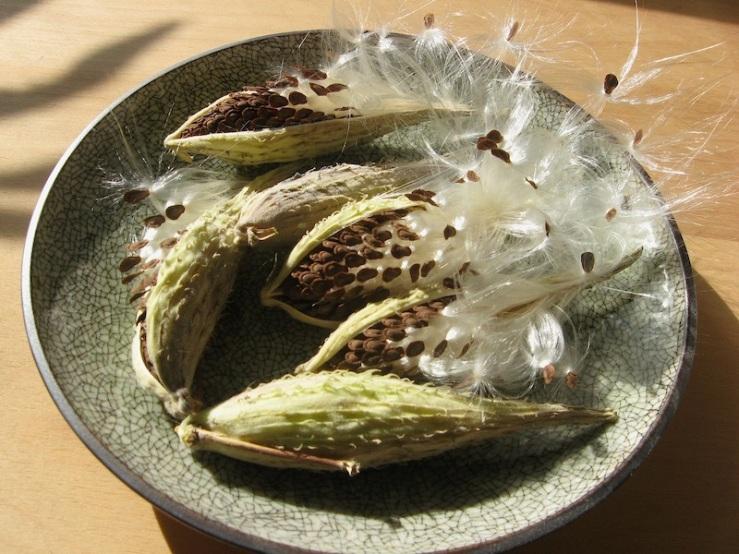 JFries milkweed pods 11.2.19
