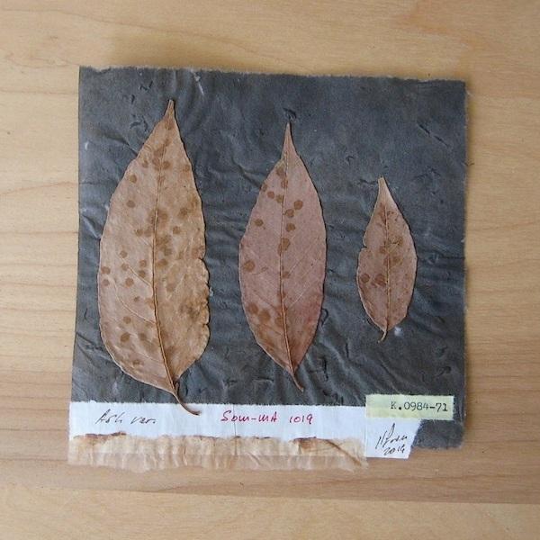 JFries Botanicals Ash 12.19