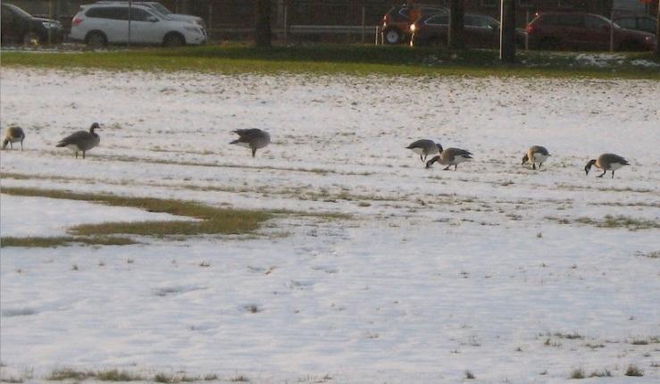 JFries canada geese 12.19