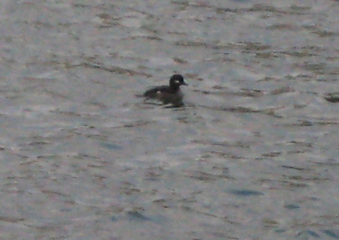 JFries female bufflehead 12.19