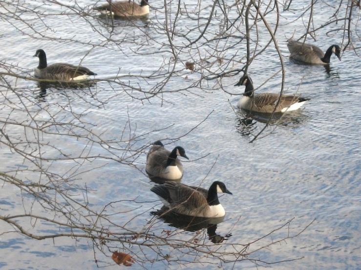 JFries canada geese 1 1.11.2020