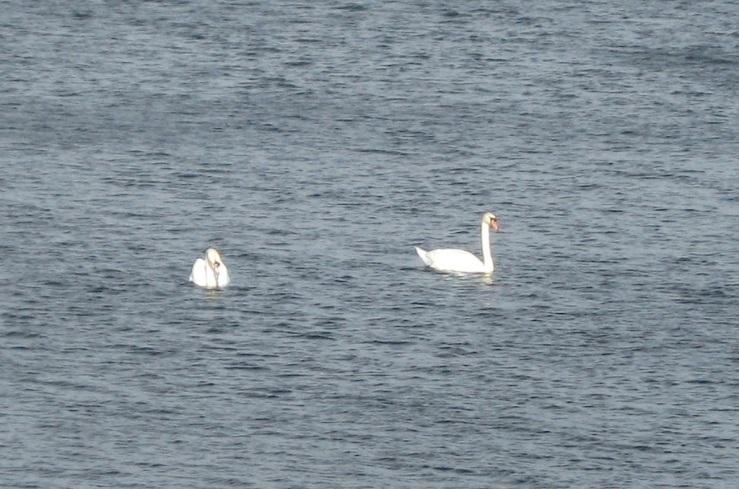 JFries mute swans 1 1.11.2020