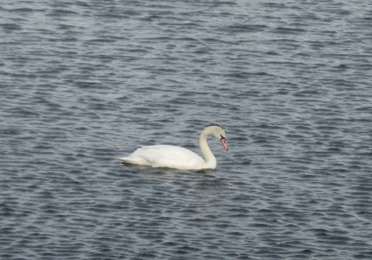 JFries mute swans 2 1.11.2020