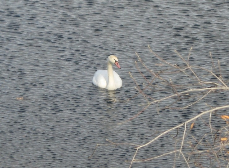 JFries mute swans 3 1.11.2020
