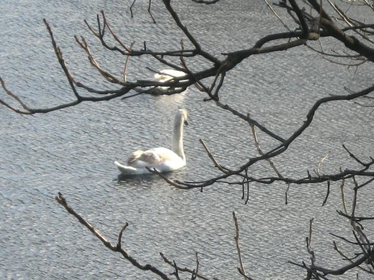 JFries mute swans 4 1.11.2020
