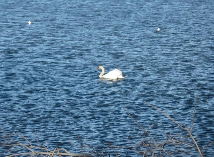 JFries mute swans 5 1.11.2020