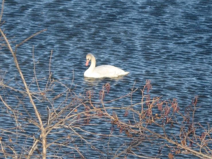 JFries mute swans 6 1.11.2020