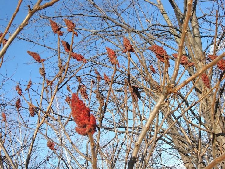 JFries tree specimen 2 sumac 1.11.2020