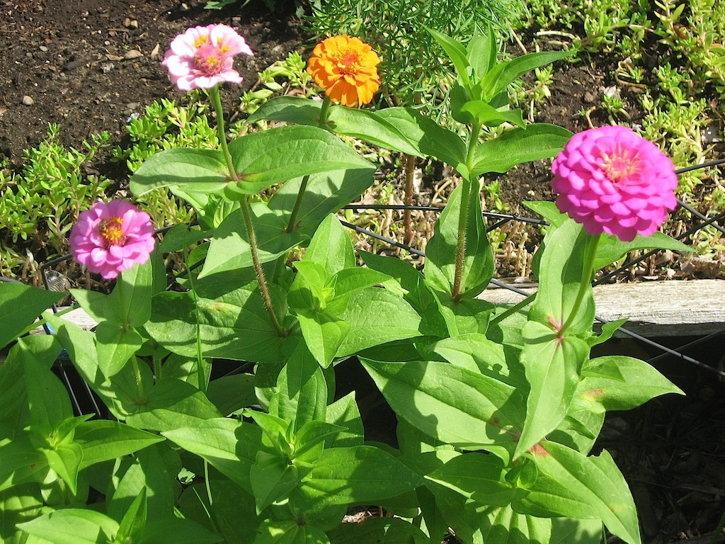 JFries zinnias with bee 8.2020