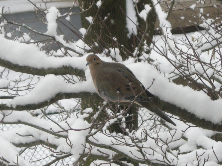 JFries mourning dove 1.28.21
